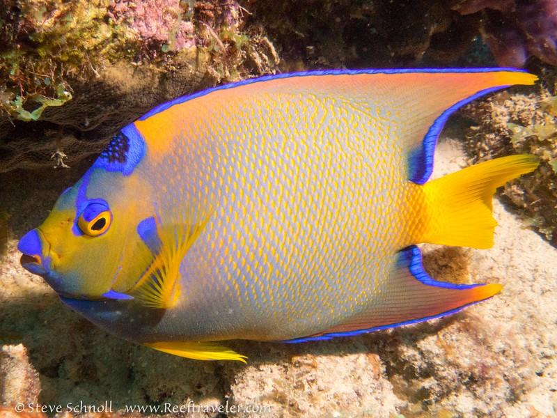 Queen Angelfish