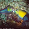 Yellowhead Wrasse Pair