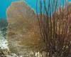Healthy Gorgonian