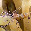 Spotted Cleaner Shrimp