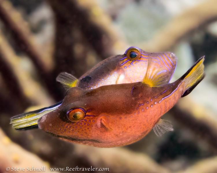 Sharpnose Pufferfish Duo