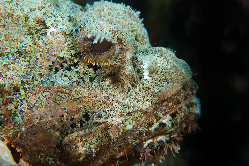 Headshot of a scorpionfish
