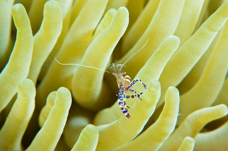 Pederson's cleaner shrimp in anenome