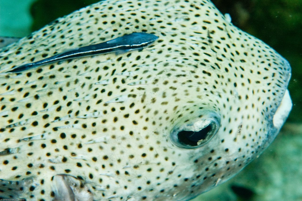 Porcupinefish with shark sucker