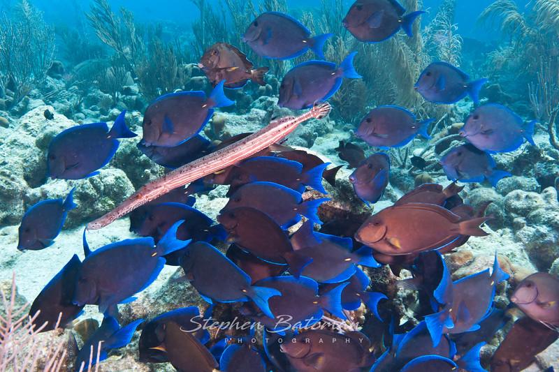 Blue Tangs feeding