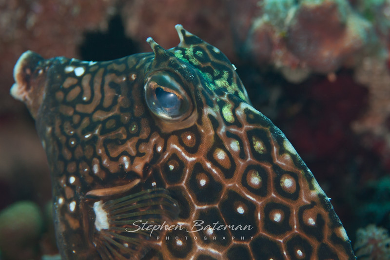 Honeycombe Cowfish