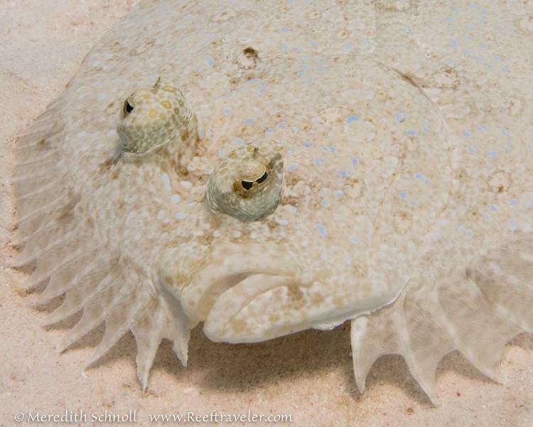 Peacock Flounder, Aquarius