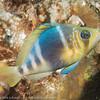 Barred Hamlet, Bari Reef