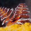 Christmastree Worm, Bari Reef
