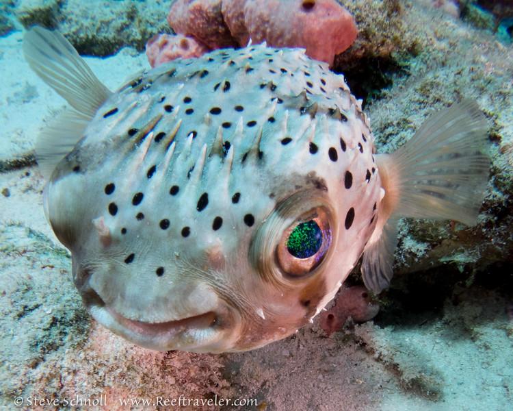 Balloonfish, Something Special