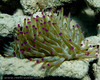 Giant Anemone - Bari Reef