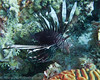 Lionfish - Klein Bonaire (reported)