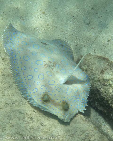 Peacock Flounder - The Aquarium