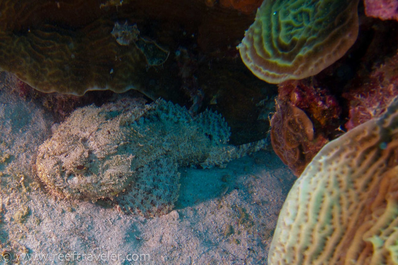 Scorpion Fish - Klein Bonaire