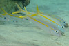 Yellow Goatfish - The Aquarium