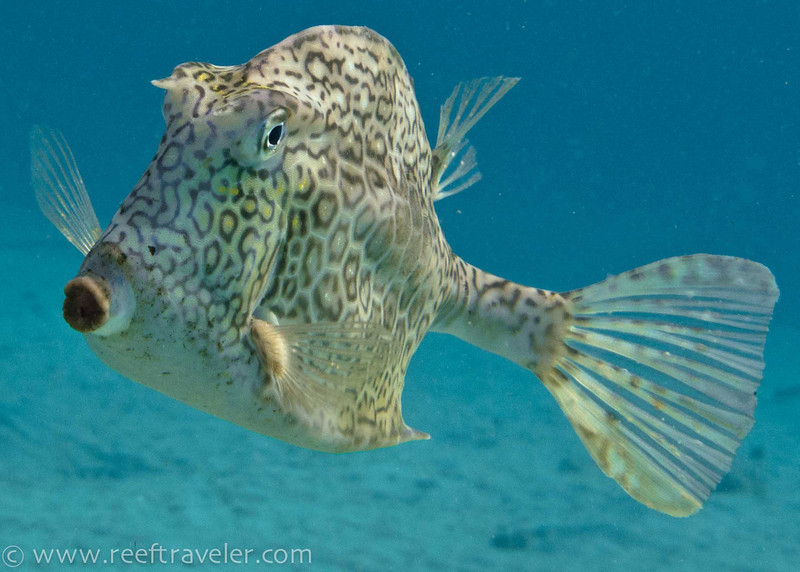 Honeycomb Cowfish - The Aquarium
