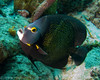 French Angelfish - Salt Pier