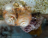 Christmas Tree Worms - Bari Reef