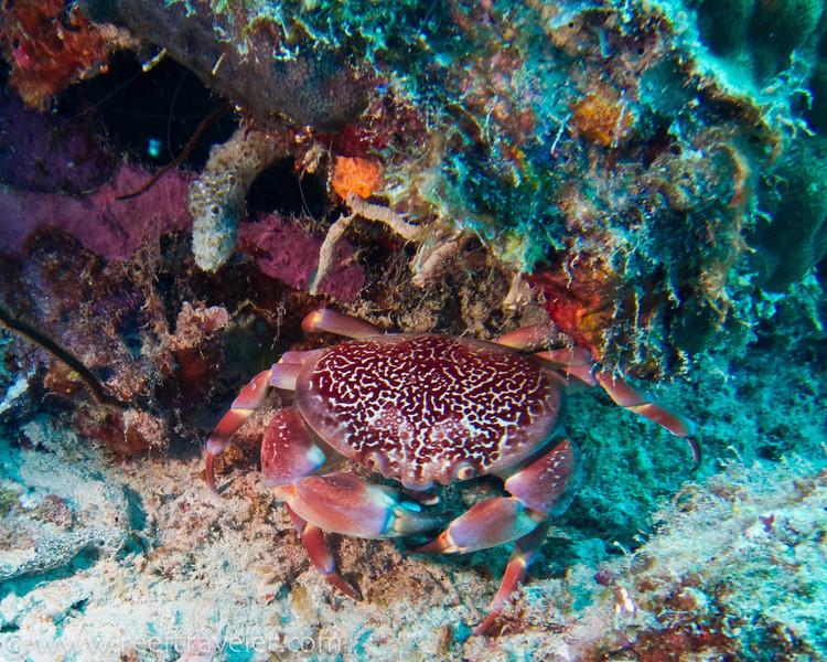 Coral Crab - Klein Bonaire