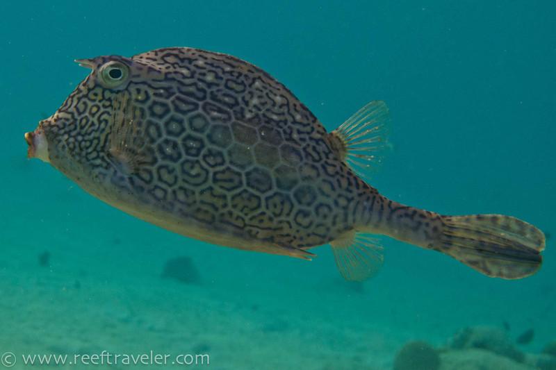 Honeycomb Cowfish - The Aquarium
