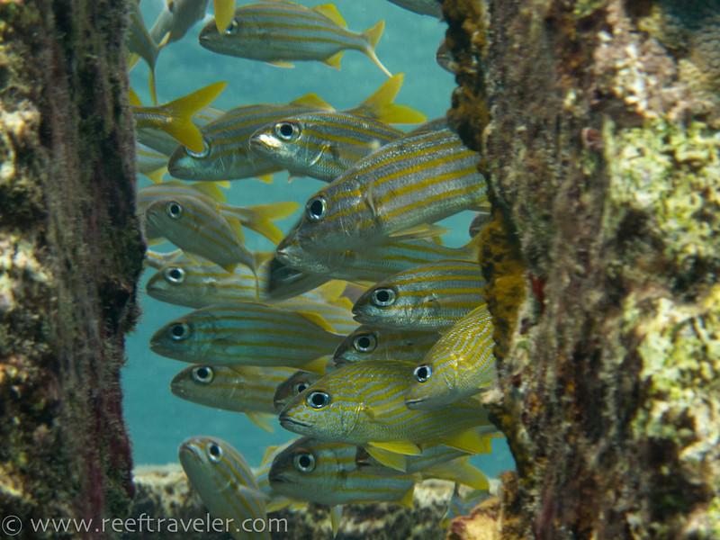 Schooling Grunts - The Aquarium