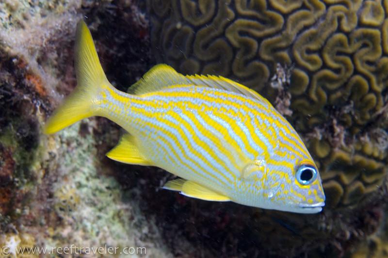 French Grunt - Bari Reef