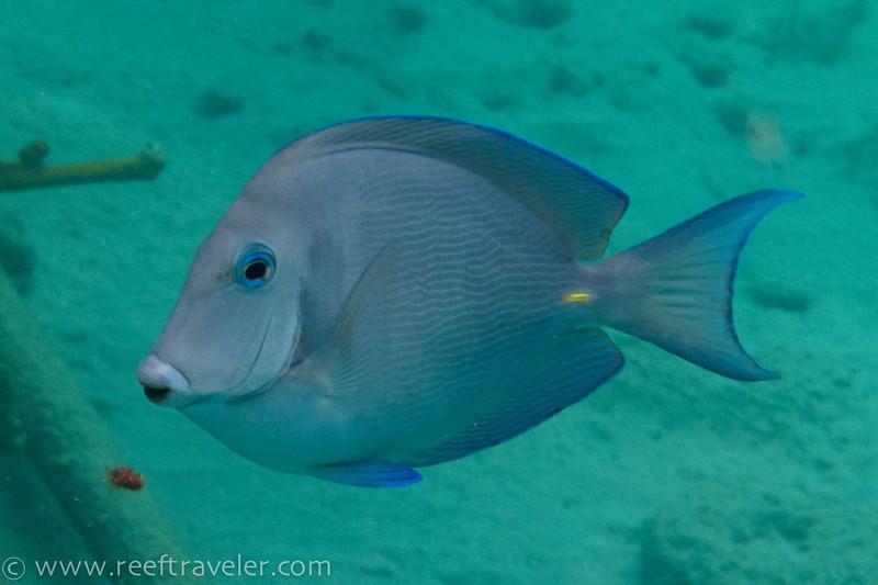 Blue Tang - The Aquarium