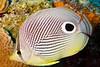Foueye Butterflyfish