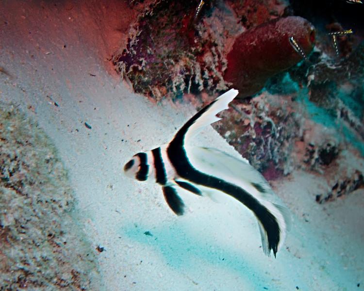 IMG_2331 spotted drumfish IP