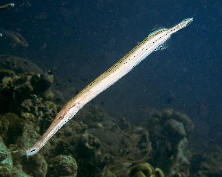 IMG_2445trumpet fish