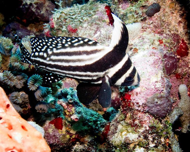 IMG_2362spotted drumfish adult