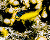 IMG_2586 damselfish
