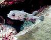 IMG_2485 porcupinefish