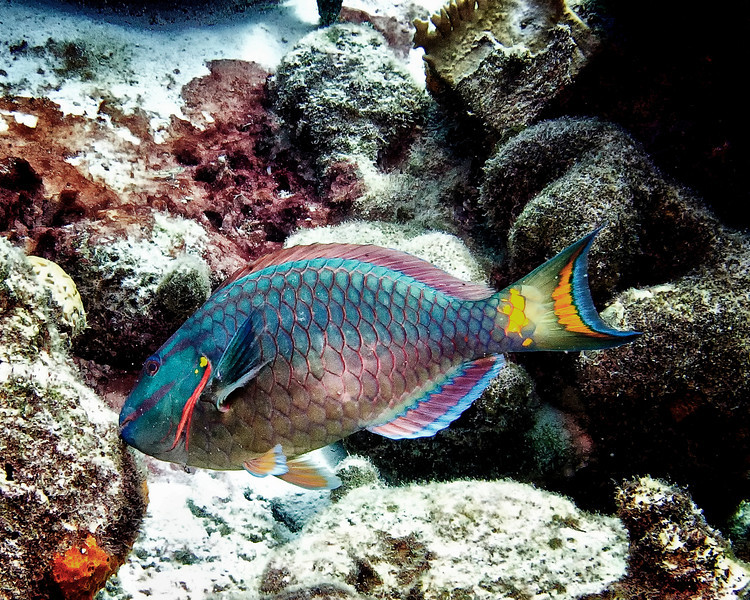 IMG_2287 stoplight parrotfish TP