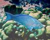IMG_2286 queen parrotfish  TP