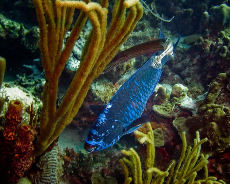 IMG_2560midnight parrotfish and trumpet