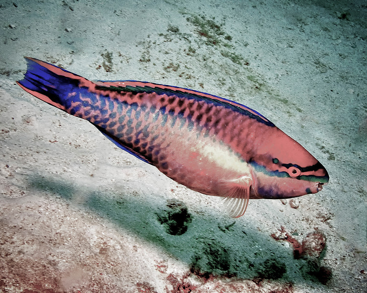 IMG_2354Parrotfish