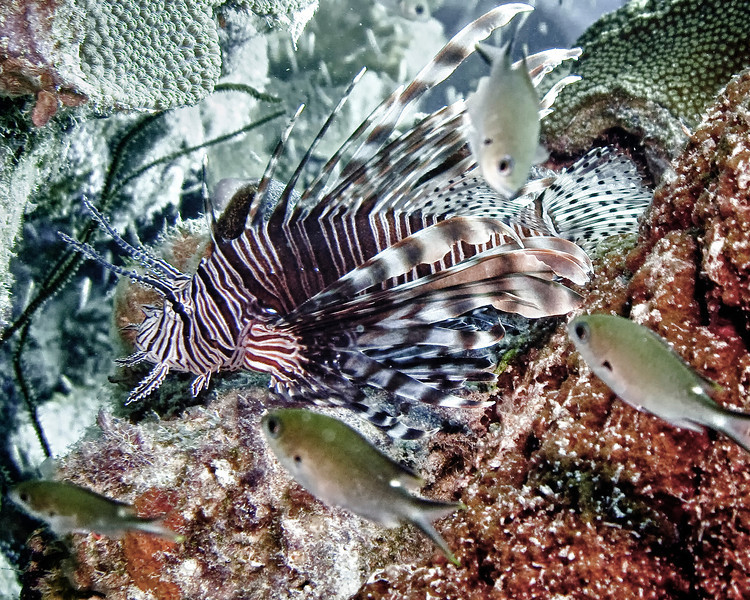 IMG_2442 lionfish