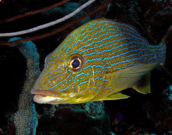 Bluestriped Grunt<br /> Haemulon sciurus