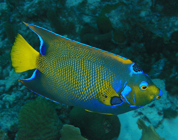 Adult Queen Angelfish<br /> Holacanthus ciliaris