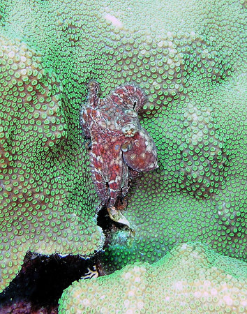 Very small Caribbean Two-spot Octopus<br /> Octopus filosusi