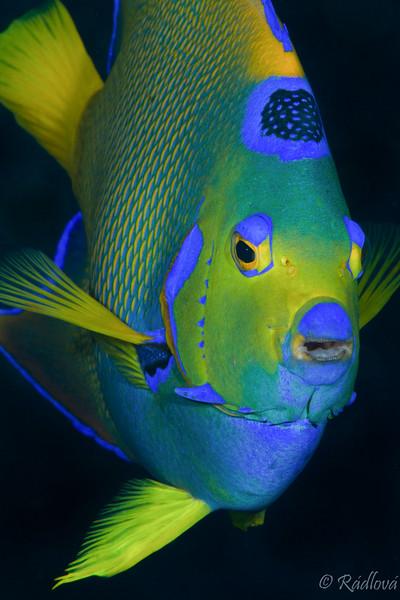 Queen Angelfish <i>(Holacanthus ciliaris)<i/>
