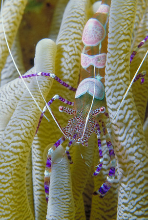 A Pedersen Cleaner Shrimp hides among the tentacles of an anemone.