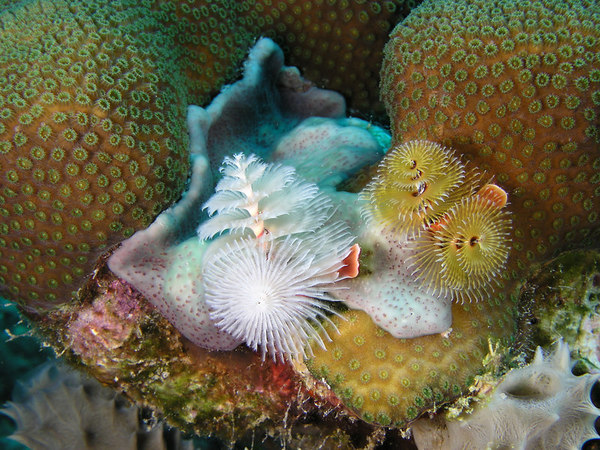 Christmas Tree Worms<br /> Spirobranchus giganteus