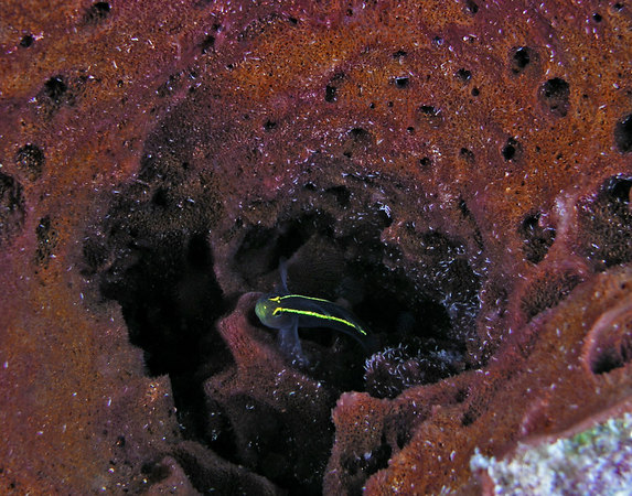Spotlight Goby in a red tube sponge<br /> Gobiosoma louisae