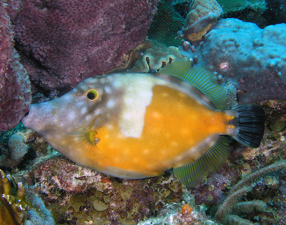 Whitespotted Filefish (Cantherhines macrocerus) feeding on sponges.  This guy was constantly changing colors with the spots coming and going.