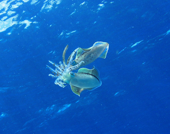 Caribbean Reeef Squid Mating
