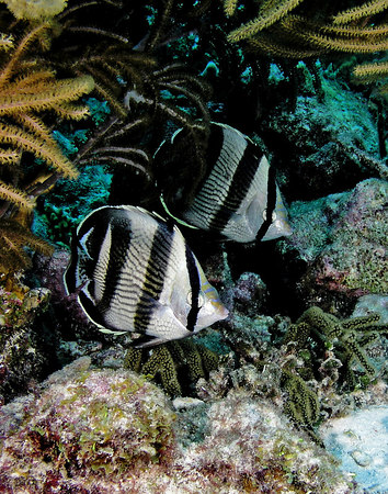 Pair of Adult Banded Butterflyfish<br /> Chaetodon striatus