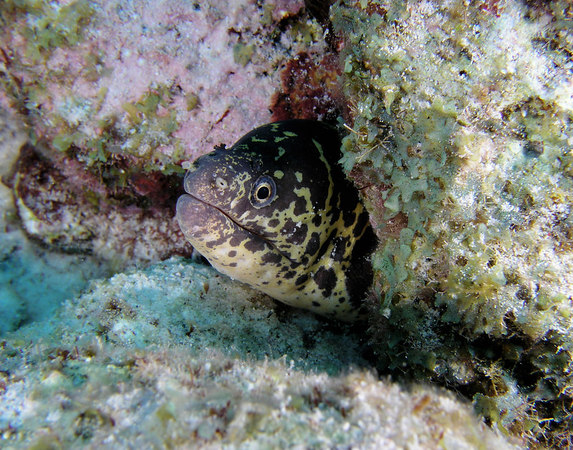 Chain Moray Eel<br /> Echidria catenata