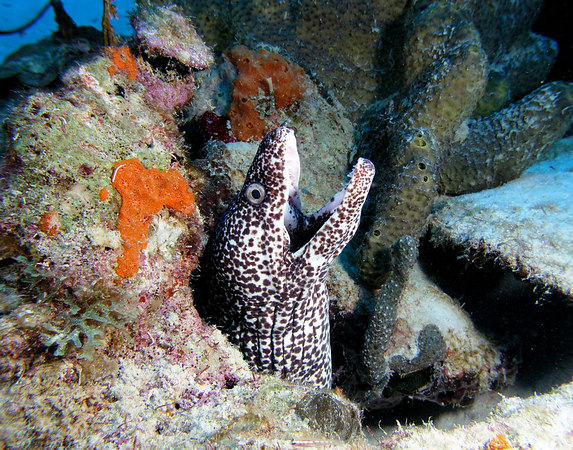 Spotted Moray<br /> Gymnothorax moringa